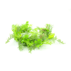 Maidenhair fern for use as decoration.